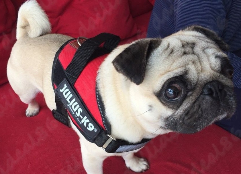 pug-julius-k9-dog-harness-with-free-labels